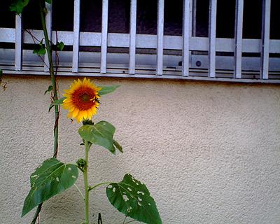 20080819himawari1.jpg